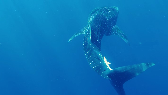 Whale Shark at Marsa Nakari house reef By Khaled Said