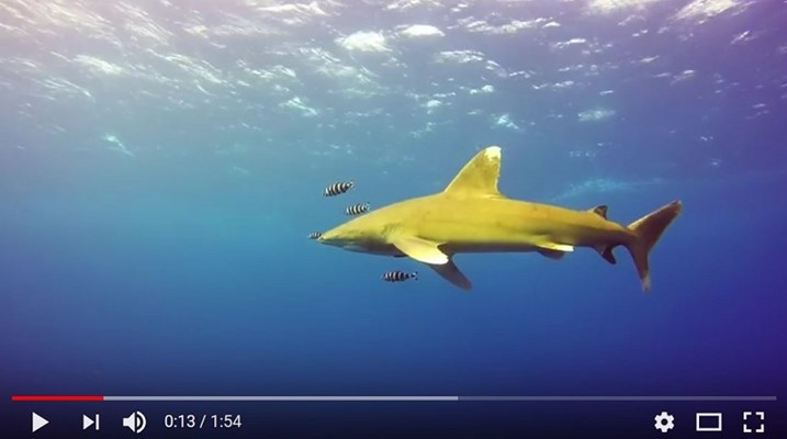 Oceanic Whitetip Shark at Elphinstone - by Ahmed Hesham