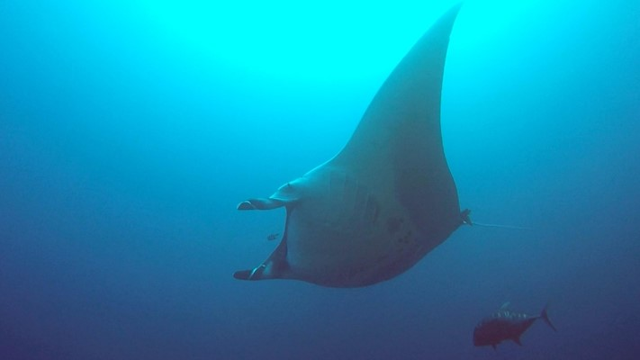 Manta at Elphinstone by: Johan De Brabander