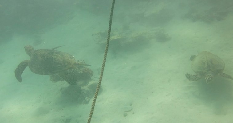 Pair of Hawksbill Turtles on Marsa Shagra House Reef