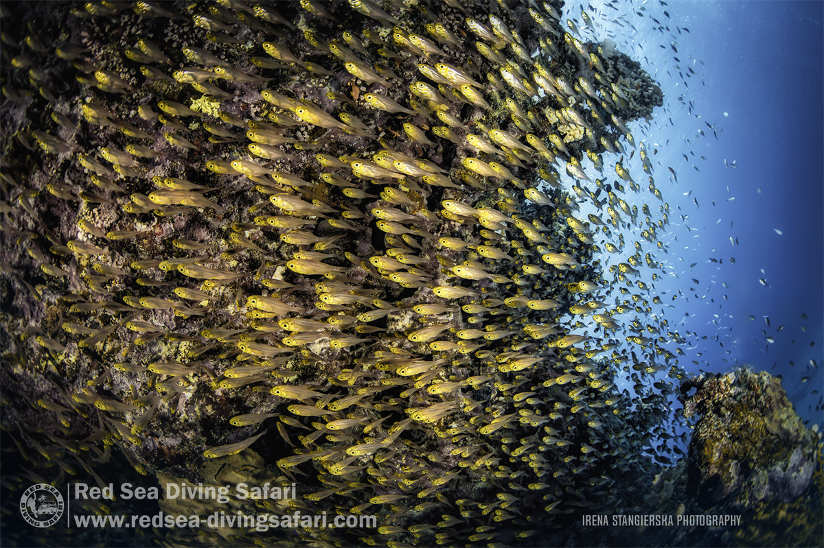 shoal of glassfishes